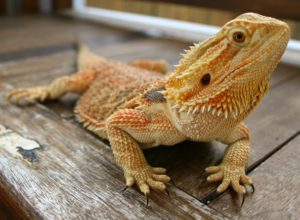 Bearded Dragon - An Ideal Pet for You and Your Family