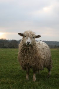 cotswold_sheep