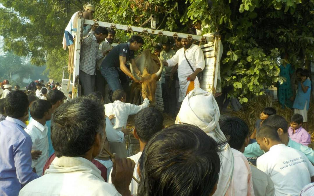 38 Cows Rescued From Slaughtering By Mataji Goshala In Braj