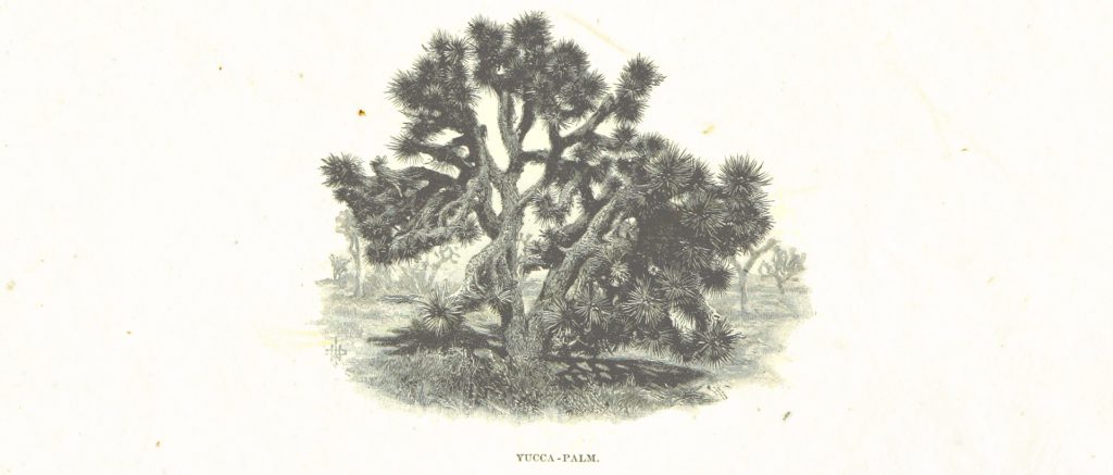 A Yucca Palm Tree