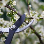 Black shears pruning a fruit tree
