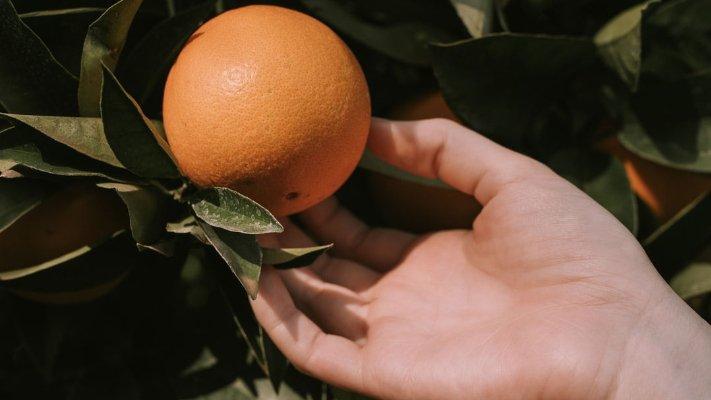 citrus tree care