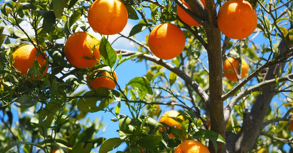 How To Choose the Right Citrus Tree