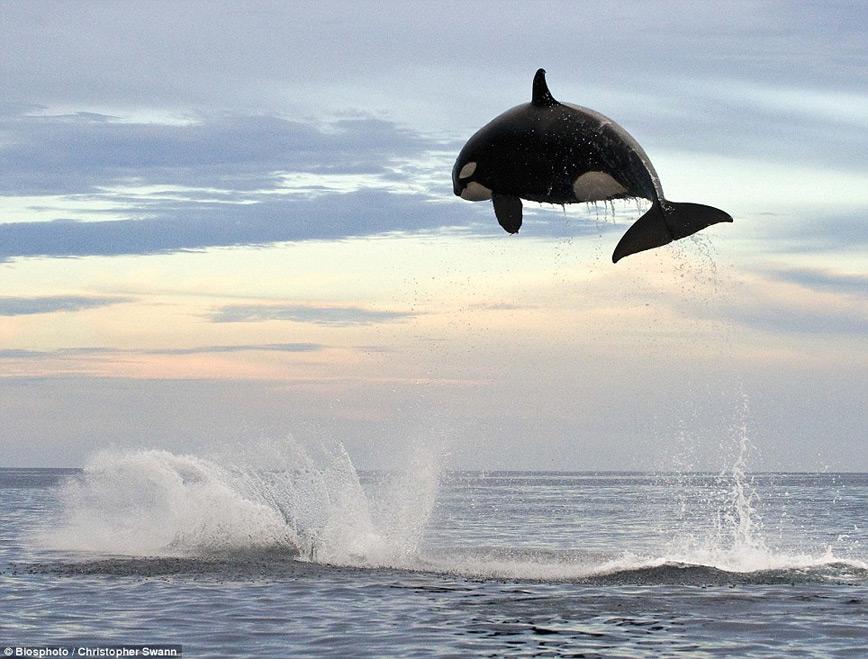 orca-jumping