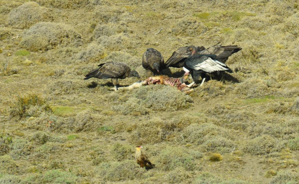 condors-feasting