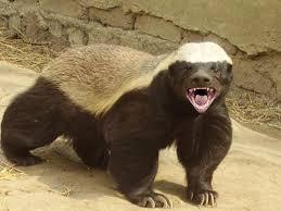Honey Badger bad ass