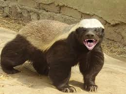 Honey Badger bad ass