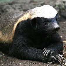 Honey Badger contemplative