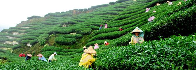 darjeeling-tea-garden-tours