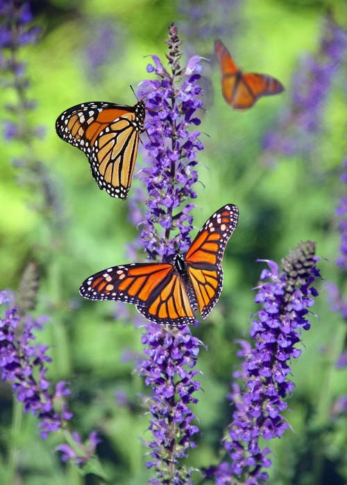 Monarch butterflies at the grove