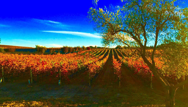 fall colored grapevines