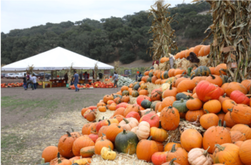 The Patch Santa Maria Pumpkins