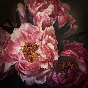 Still Life of Pink Peony by Melissa Ann Bagley