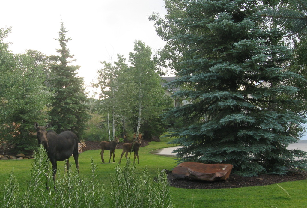 Moose_Cow_and_Twins_2012_02[1]