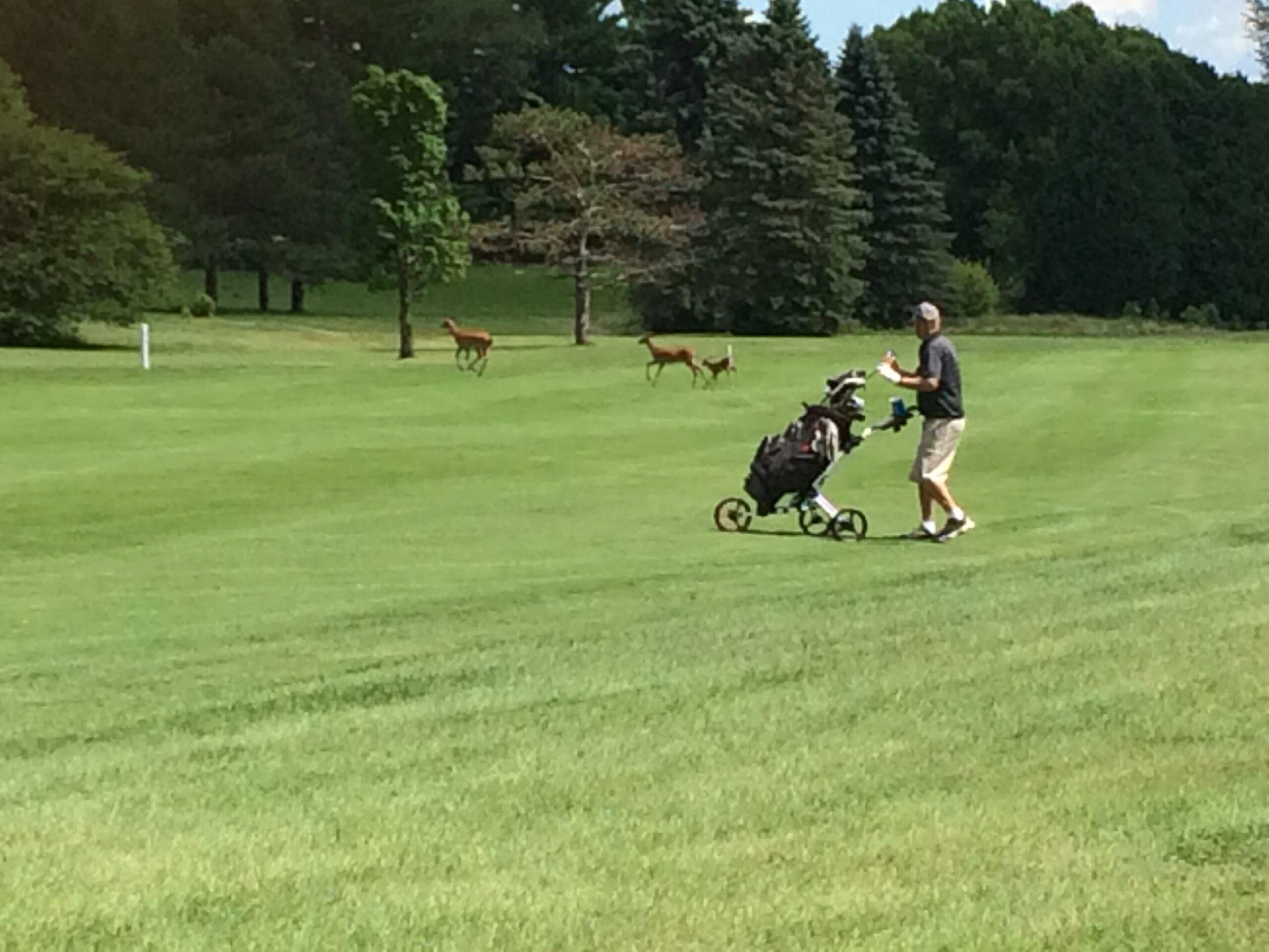 Golfer and deer