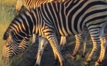 South African Safari Now!  Days 4 & 5