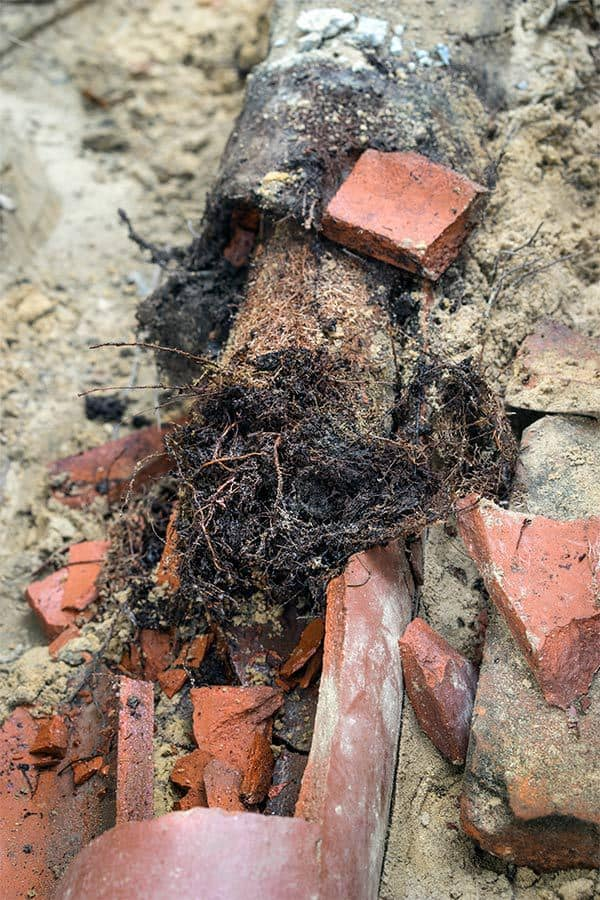Root Infestation