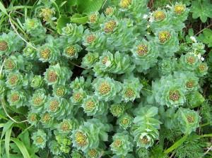Rhodiola Herb garden