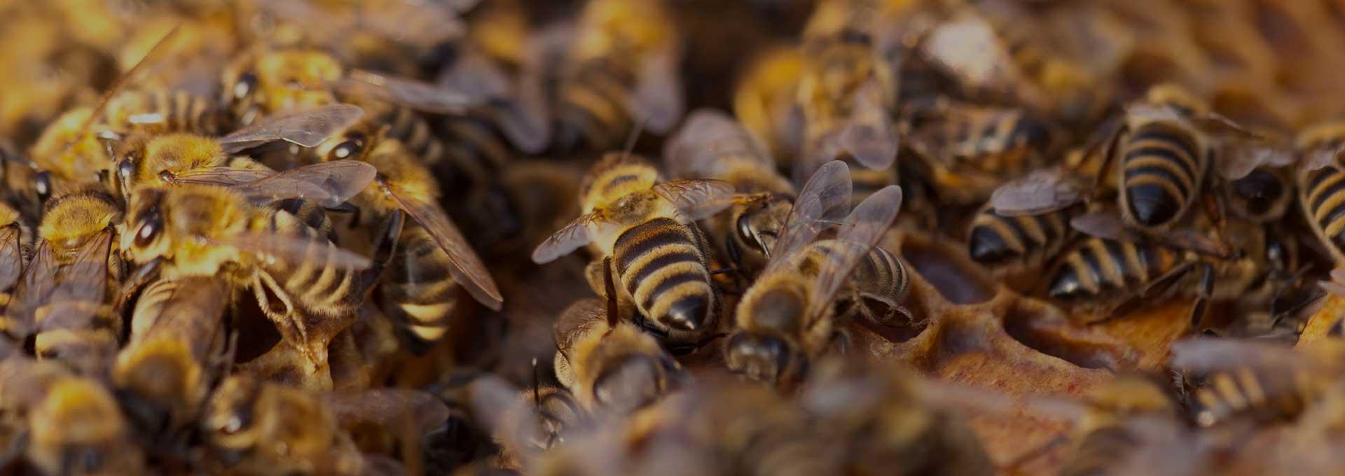 Bee Removal Phoenix AZ