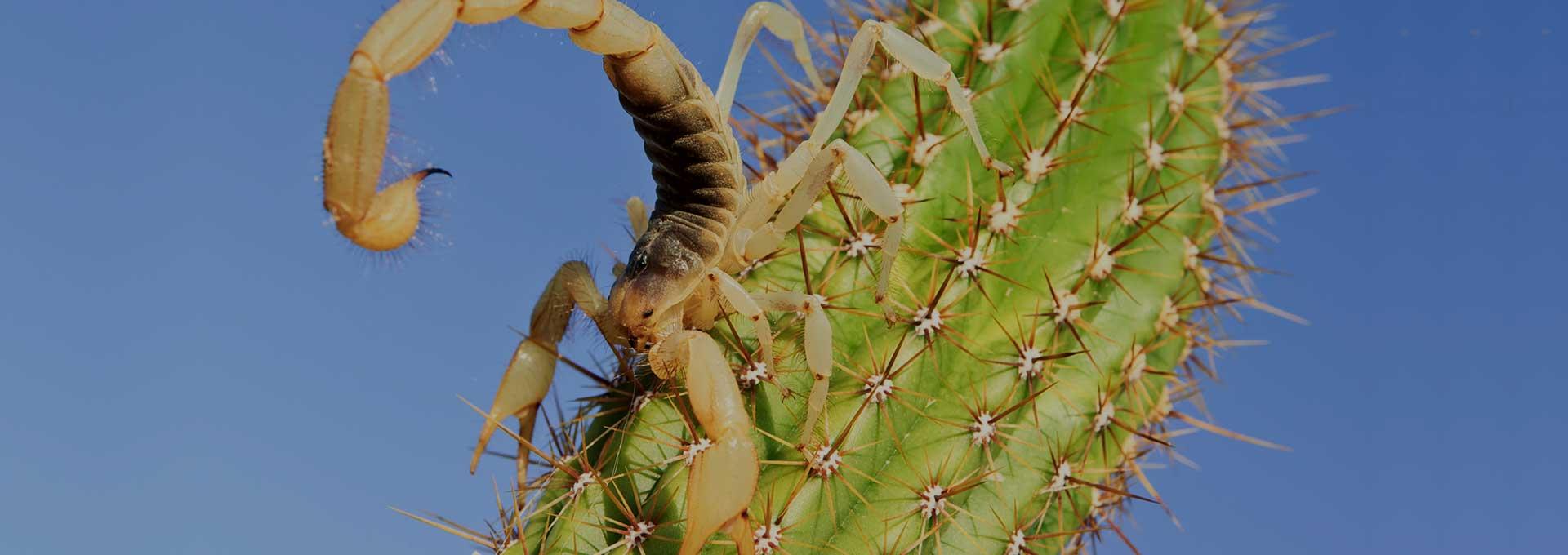 Scorpion Removal Phoenix AZ