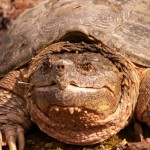 Close up photo of a Snapping Turtle.