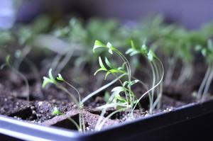 Cilantro plants