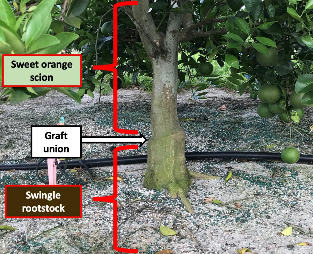 Citrus Rootstocks