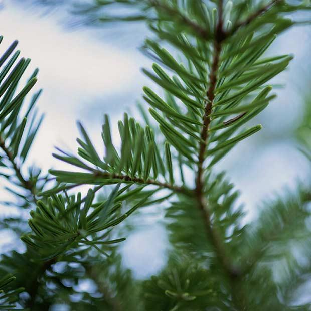 Fudge Factory Farm - Christmas Trees