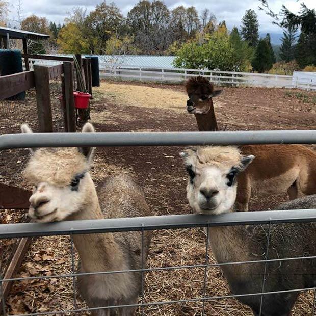 fudge-factory-farm-apple-hill-alpacas-ranch