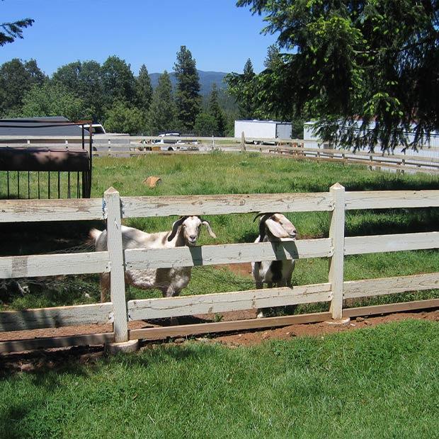 explore-fudge-factory-farm-friendly-goats-001