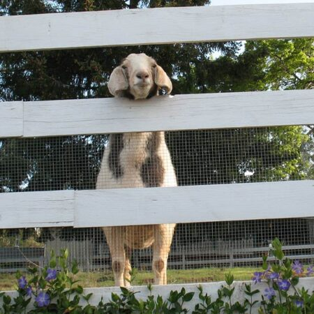 fudge-factory-farm-apple-hill-goat-ranch