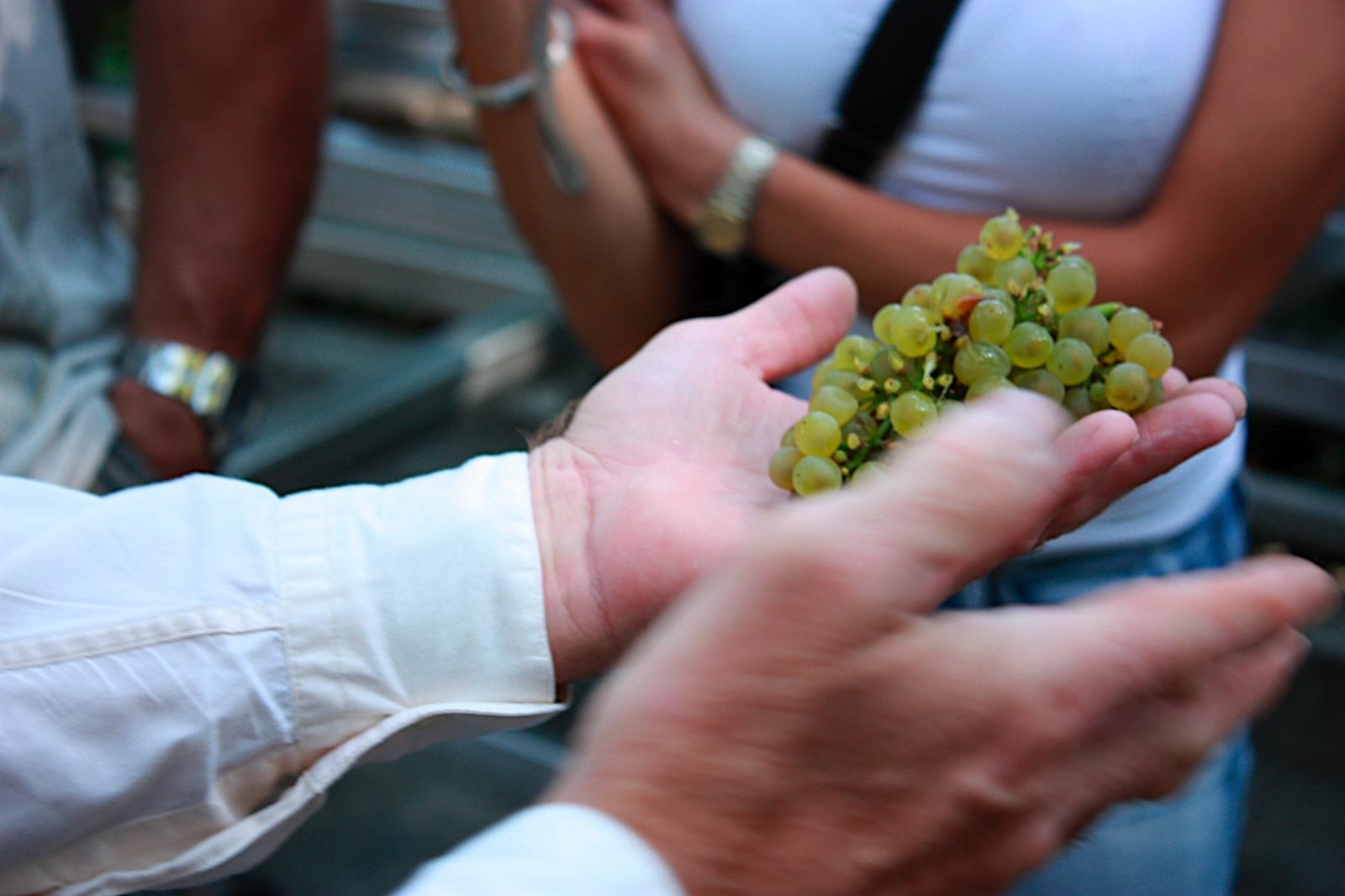 Fresh Grapes Far Niente