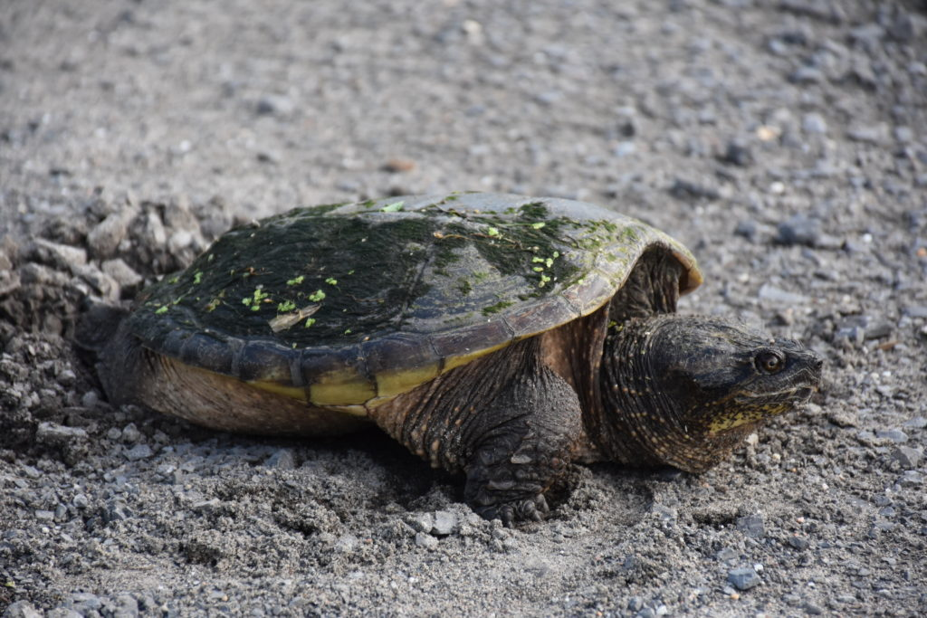 Spring time in Kanata Lakes means nesting turtles! (Megan)