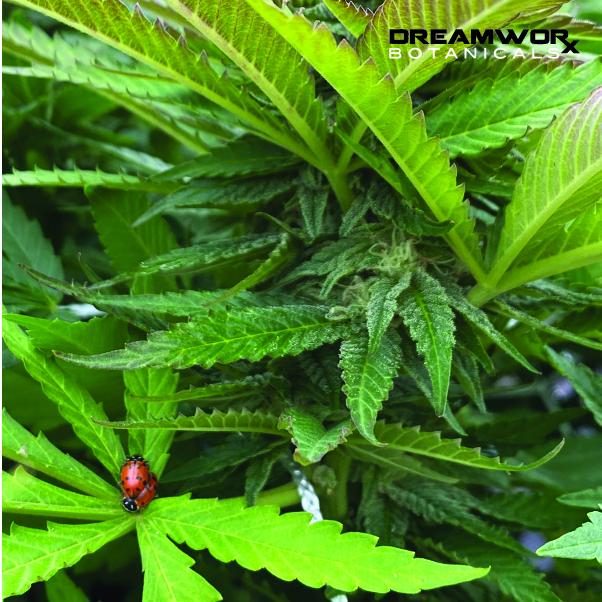 bulk weed Oklahoma City - DreamWoRx' Broad Spectrum Wellness - DreamWoRx bulk weed - DreamWoRx Tinctures- OKC broad spectrum wellness