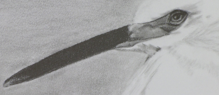 Pencil drawing, egret shorebird, California coast