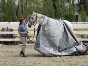 Belle's tarp training goes easily