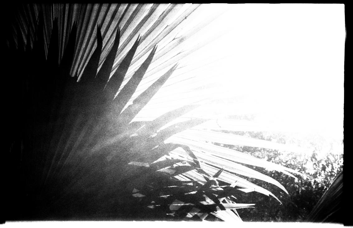Palmiers bagan