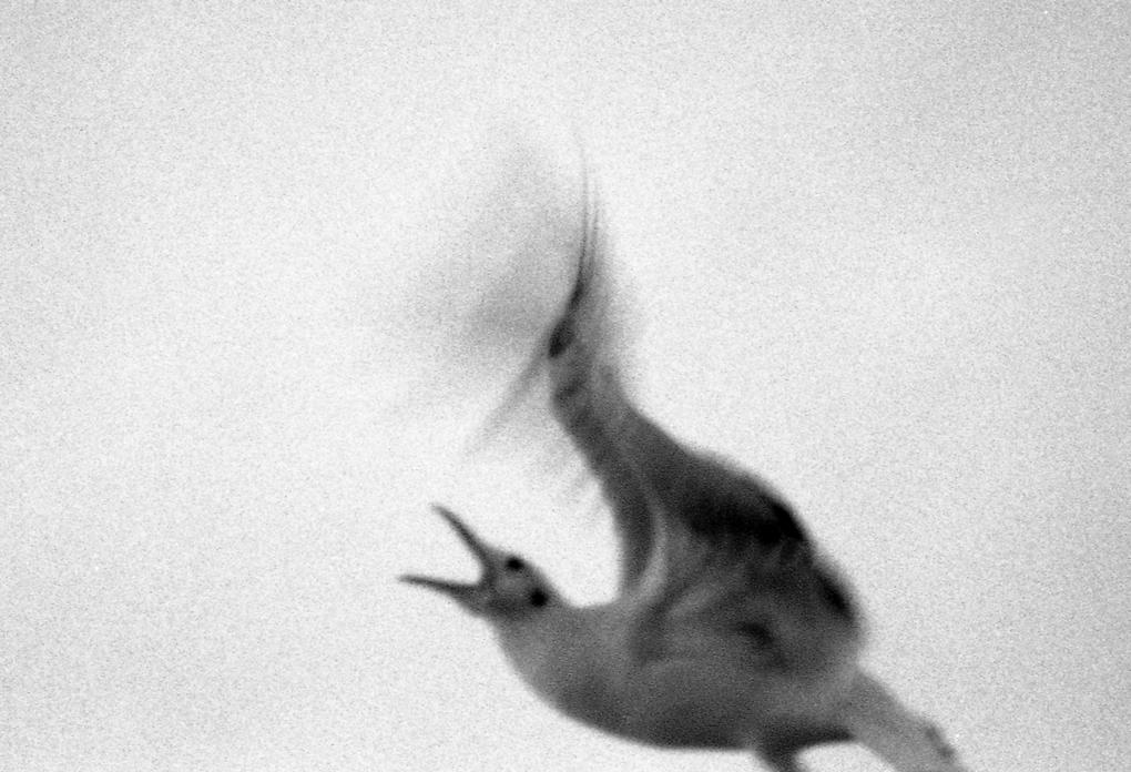 Mynr_Dala_oiseau