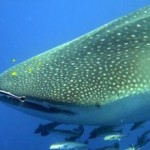 [Mood Riffs] Save The Whale Sharks