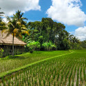 Palm Trees and Rice Fields