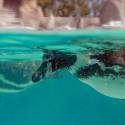 Closeup of Penguin, swimming