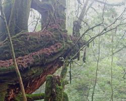 Photo of a beautiful young girl under a 1,000 year old Japanese cedar tree on Yakushima island, Japan