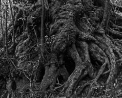 Yakushima Island, Japan. Photo of tree roots.