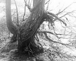Black and White photo of a Japanese cedar tree in the fog, Yakushima island, Japan