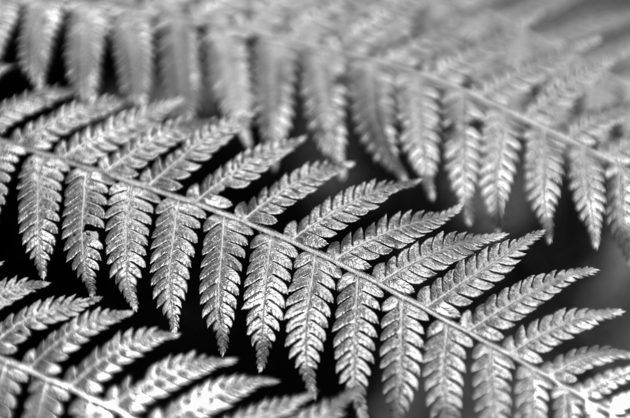 Black and White closeup photo of a Fern leaf.