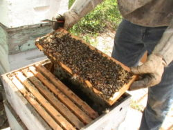 Bees Local Honey