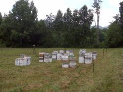 Beehives, Sourwood