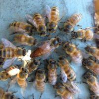Queen bee, honey