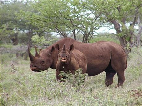 Texas club auctions right to hunt endangered rhino