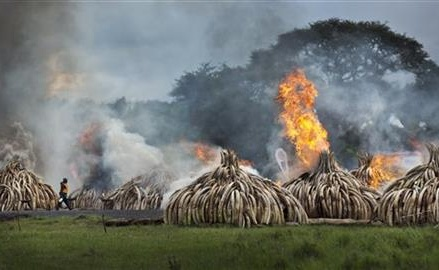 Kenya burns huge pile of ivory tusks to protest poaching